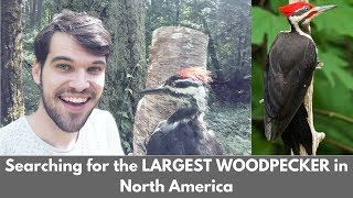 Searching for the LARGEST WOODPECKER in North America | Wildlife Watching