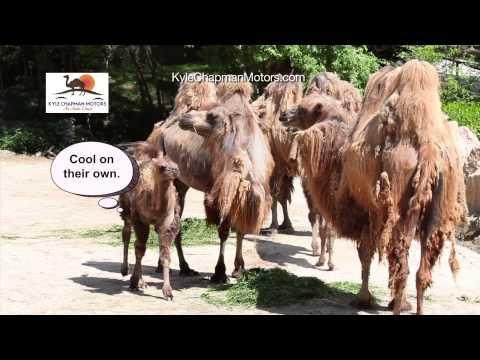 Kyle Chapman Motors - Camels TV Commercial