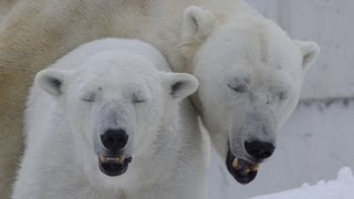 Repeat youtube video ホッキョクグマの交尾~Polar Bears mating