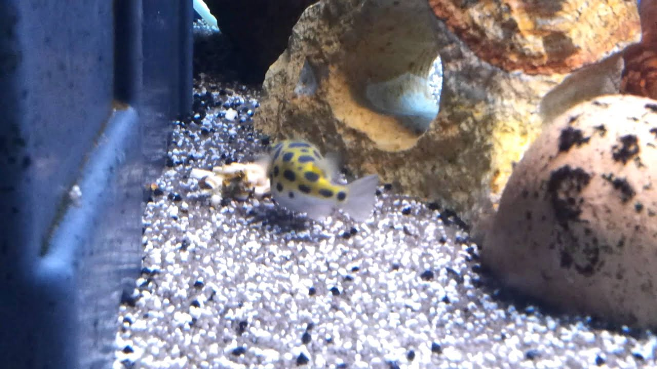 Pesci palla acqua dolce acquario youtube for Pesci acqua dolce commestibili