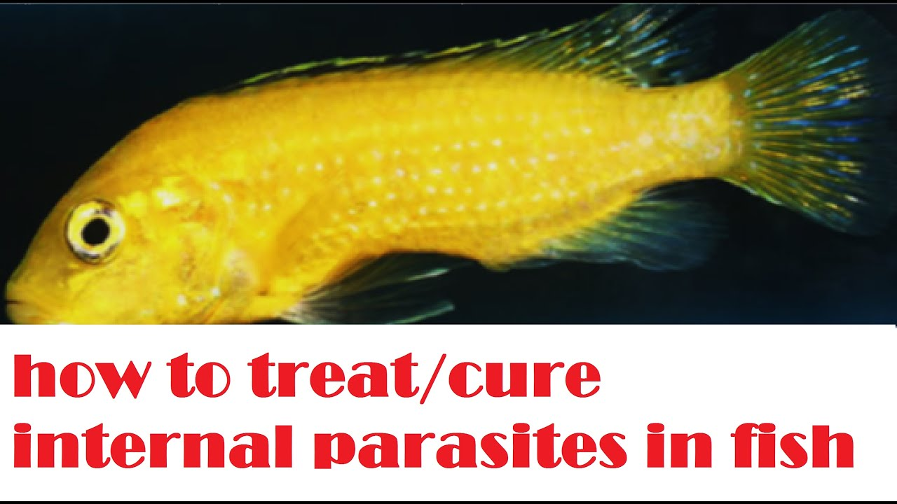 how to treat cure internal parasites in fish youtube