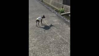 愛犬リンリン 2歳 トイマン トイマンチェスターテリア です。