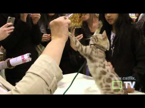 cat show, 15 cat breeds, the javits center, hd - cute cats (with music), hd!