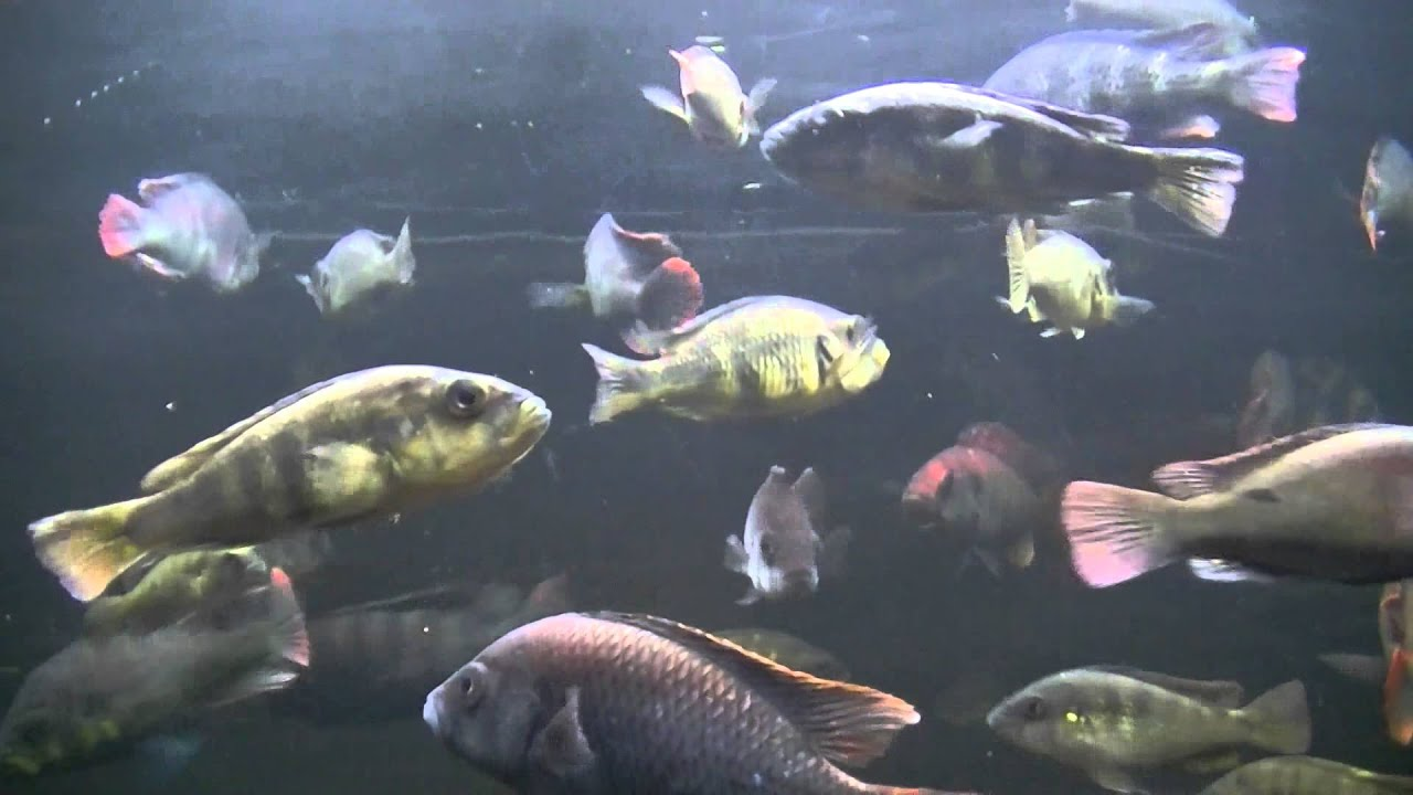 swimming fish video for cats 3 hours of fun youtube