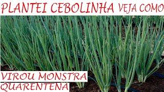 Plantei Cebolinha e Virou Monstra, Veja Como