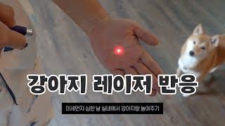 강아지 레이저 포인터 반응 (미세먼지 심한 날 실내에서 놀아주기)   시바견니케