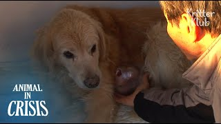 Dog With A Tumor Holds The Hand Of Her Owner Crying Over Her Pain (Part 1) | Animal in Crisis EP97