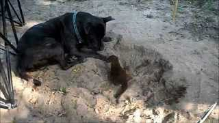 Orphan baby mongoose with Bodyguards