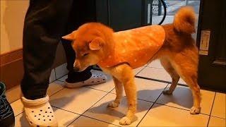 犬に服を着せることに不満な方へ。クッキーさんは皮膚炎でお腹に毛があ...
