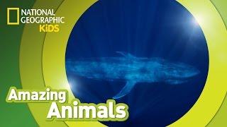 Blue Whale 🐳 | AMAZING ANIMALS