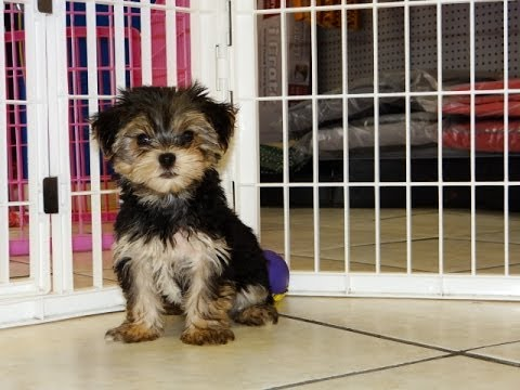 Yorkshire Terrier Puppies For Sale In Chandler Arizona County