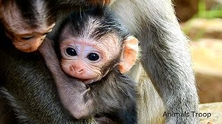Super cute newborn monkey, Very adorable newborn monkey, All newborn breastfeeding
