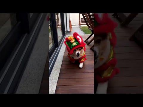 Chinese New Year Lion Corgi || ViralHog