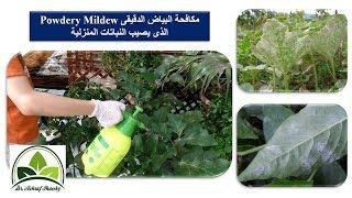 (85) رش بيكربونات الصوديوم للتخلص من البياض الدقيقى Powdery Mildew الذي يصيب النباتات المنزلية
