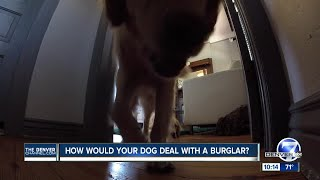 Would your dog stop a burglar?