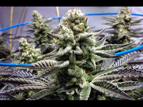 The Top 10 Strains of 2015