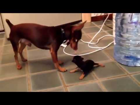 One Month Old - Miniature Pinscher Puppies