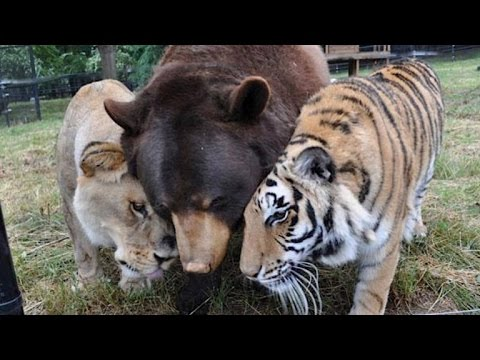 Lion, Tiger and Bear Are Inseparable After Being Found Abused in Basement