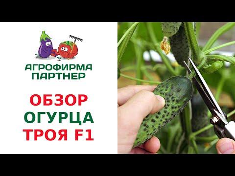 ОБЗОР ПАРТЕНОКАРПИЧЕСКОГО ОГУРЦА ТРОЯ F1