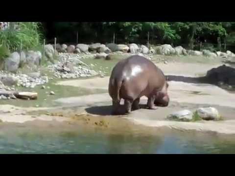 Shit hits the fan! Hippo