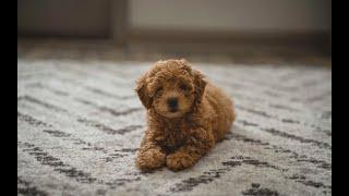 Picking up my 8 week old Toy Poodle Belle!