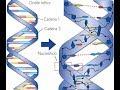 ADN-Replicación [HD]