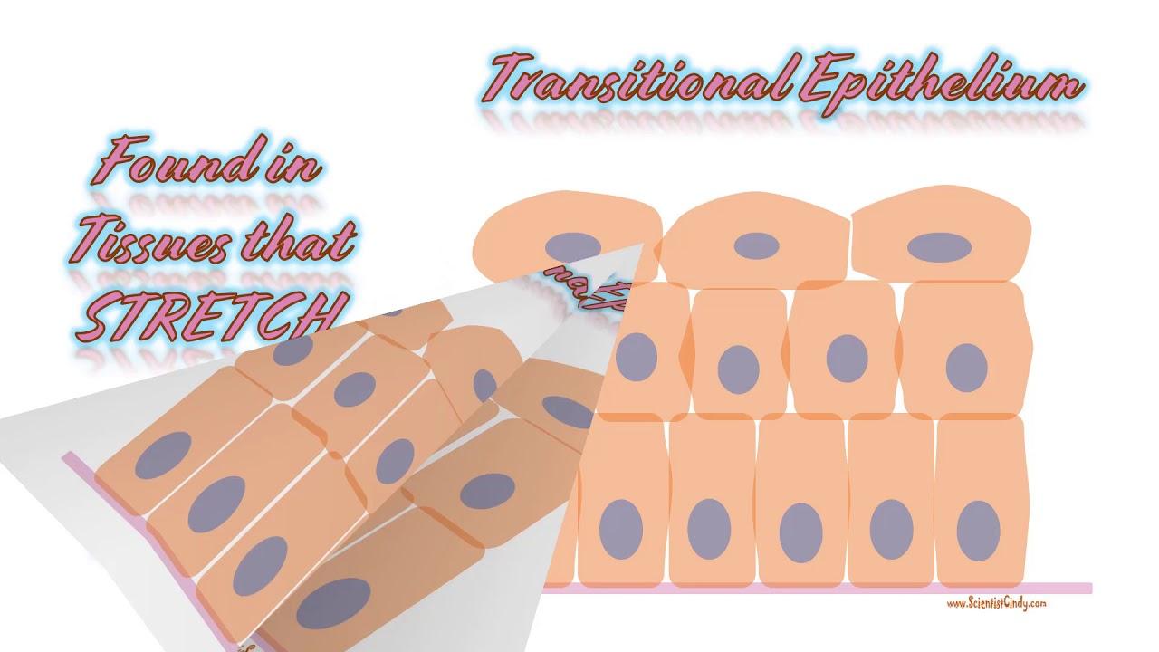 Tissues Histology Slides Tutorial - YouTube