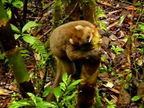 Madagascar Greater Bamboo Lemur rarest animal in the world in Ranomafana Parc-part 1 of 2