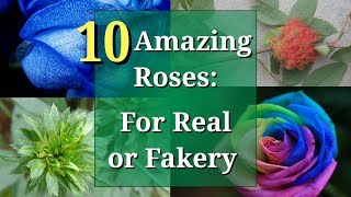 Is This Rose for Real, or Is It Fake? 10 Roses Reality-Checked
