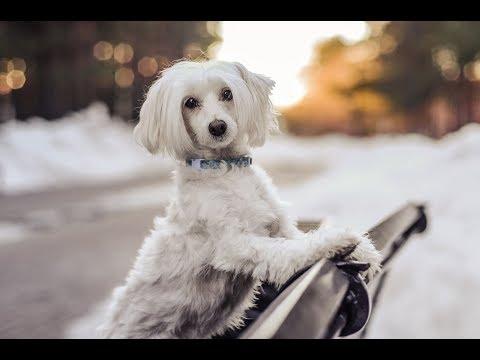 Dog trainig|Chinese crested Vixie