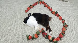 Waking A Sleeping Rabbit By Surrounding Him With Strawberries