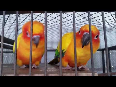 Asian Budgies..Sun conure Parrot basic information