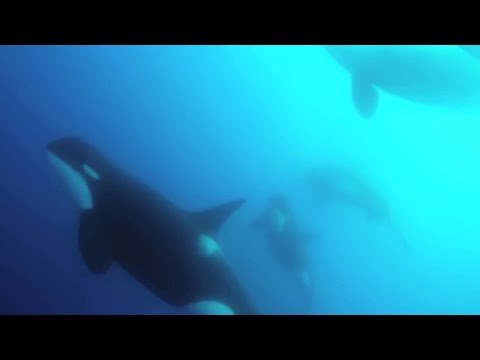 Scientists find new type of killer whale off Chile