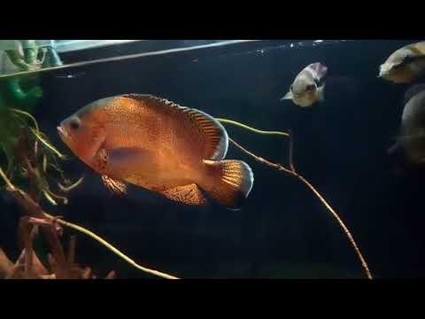 Интерактивный аквариумный туризм Сезон 3 Выпуск 35(ЮА цихлиды)