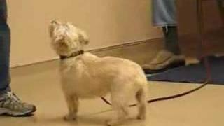 Maxwell, Cairn Terrier, Basic Training