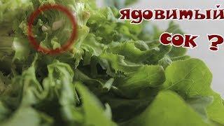 Плохие листья салата  выращивала листья салата, последствия..