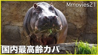 The oldest Hippopotamus in Japan. Don ,male,47 years old. 円山動物...