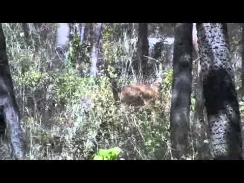 Wild bushbuck filmed in the Issa Valley, Ugalla, western Tanzania (credit: Anna Lenoel)