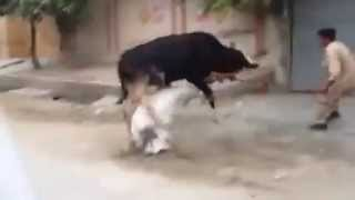 very funny can,t control cow Eid ul Azha   Video youtobe