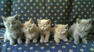 Британские котята из питомника Silvery Snow г.Москва. Год съемки 2003.