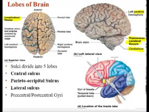 Chapter 12   Lecture A Brain Ventricles Cerebral White Matter