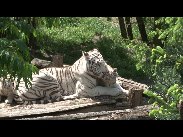 ZOO : Dans l'enclos des tigres blancs