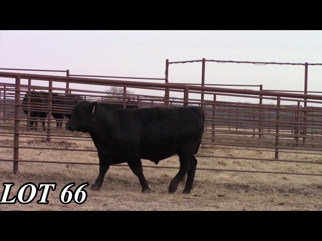 Mead Angus Farms Lot 66