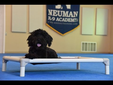 Tia (Portugese Water Dog) Puppy Camp Training Demonstration