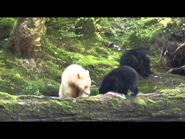 The Search for the Elusive Spirit Bear - Travels in British Columbia