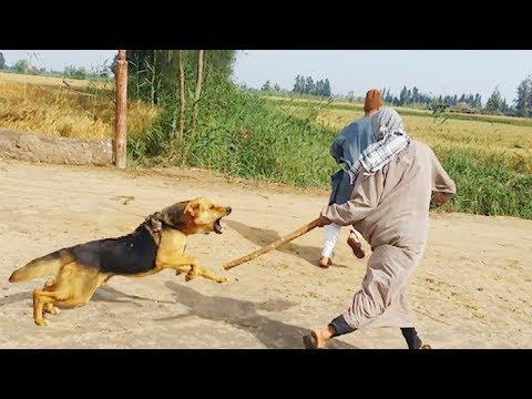 الكلب الذى انتقم لصاحبة|  بعد سرقته أكثر من مرة|  أشرس الكلاب| إضحك من جواك 😜😜😜