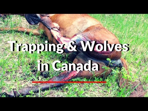 Trapping & Wolves In Canada