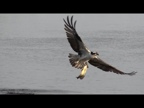 Ospreys Bald Eagle Come In For The Kill