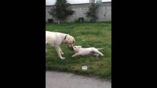 Puppy Labrador Retriever English And American Labradors