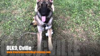 "8 Month Old Shiloh Shepherd ""miles"" Before/after Video 